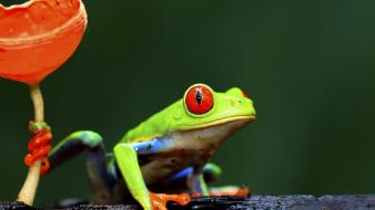 Nature frogs red-eyed tree frog wallpaper