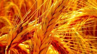 Nature wheat detail wallpaper