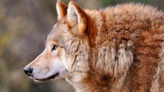 Predator animals profile muzzle wolves view wallpaper