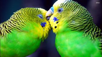 Birds parrots affection parakeets budgerigar wallpaper