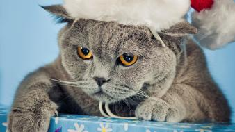 Cats british shorthair wallpaper