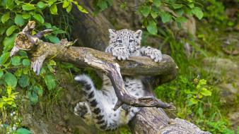 Climbing animals snow leopards branches baby Wallpaper