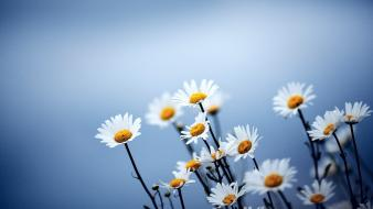 Flowers daisies wallpaper
