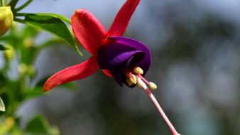 Flowers fuchsia wallpaper