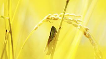 Insects macro grasshopper wallpaper