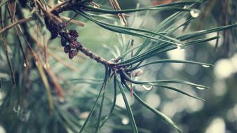 Nature drop water drops pine tree wallpaper