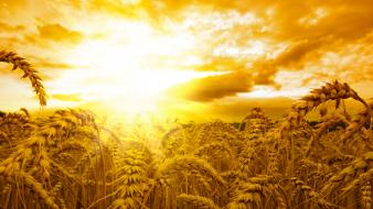 Nature wheat golden sunlight Wallpaper