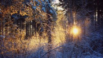Nature winter forest sunny wallpaper