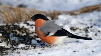 Snow bullfinch birds wallpaper