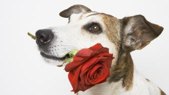 Animals dogs white background red flowers wallpaper