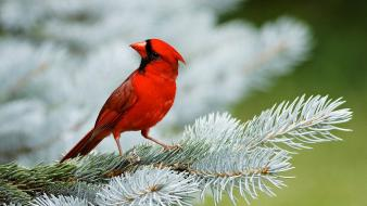 Birds cardinal northern pine trees wallpaper