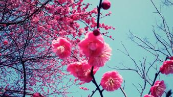Cherry blossoms flowers wallpaper