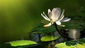Flowers sunlight lily pads lotus flower white wallpaper