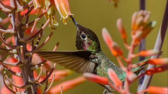 Hummingbirds orange flowers birds Wallpaper