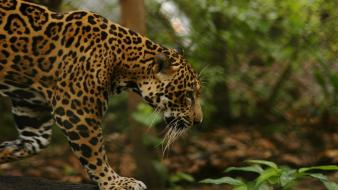 Jungle animals feline jaguars Wallpaper