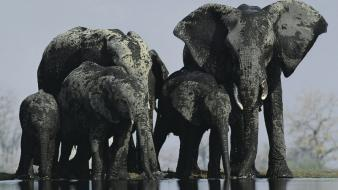 Landscapes national geographic elephants wallpaper
