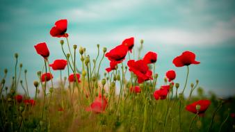 Nature flowers red poppies wallpaper