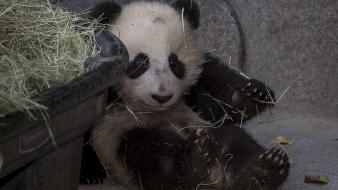 Panda bears baby animals wallpaper
