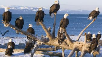 Alaska bald eagles birds wallpaper