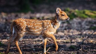 Animals deer fawn baby wallpaper