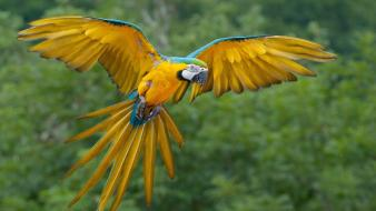 Animals flight macaw blue-and-yellow macaws Wallpaper