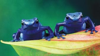 Animals frogs amphibians poison dart wallpaper