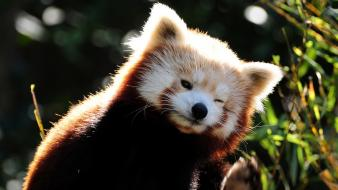 Animals funny red pandas baby wallpaper