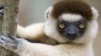 Animals lemur sifaka Wallpaper