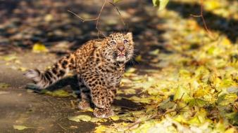 Animals leopards baby fallen leaves wallpaper