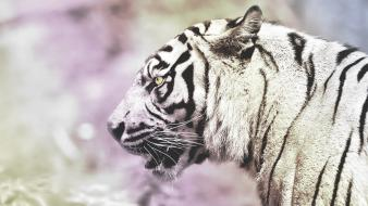 Animals tigers white tiger Wallpaper