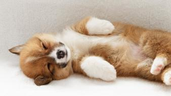 Animals welsh corgi wallpaper