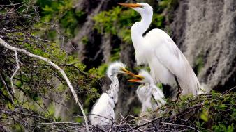 Birds nest branches egrets baby wallpaper