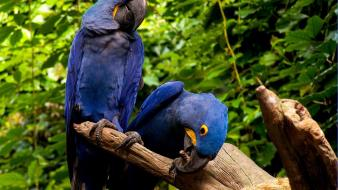 Birds parrots macaw hyacinth wallpaper