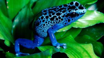Blue animals frogs spotted poison dart Wallpaper