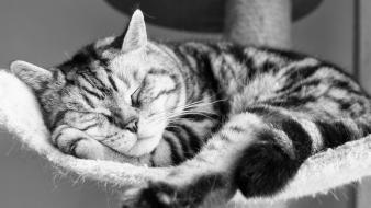 Cats animals grayscale sleeping wallpaper