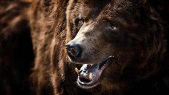 Close-up animals wildlife grizzly bears wallpaper