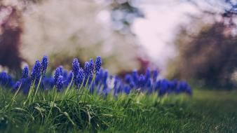 Depth of field blue hyacinths blurred background wallpaper