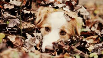 Depth of field pets australian shepherds fallen wallpaper