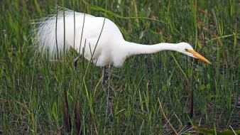 Florida national park great egret egrets birds everglades wallpaper