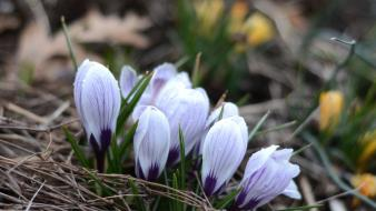 Flowers crocus blurred background wallpaper