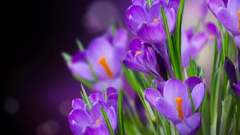 Flowers violet macro crocus wallpaper
