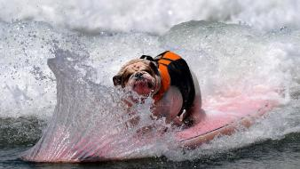 Humor dogs surfing wallpaper