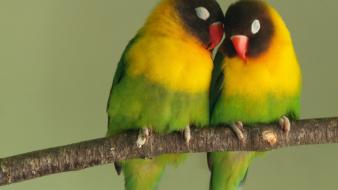 Love birds animals parrots bird wallpaper