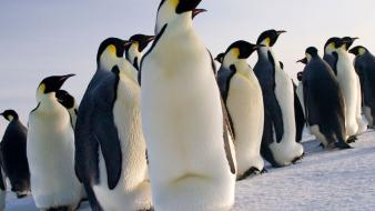 Nature snow birds penguins wallpaper