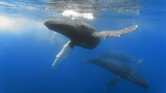 Ocean animals whales humpback whale wallpaper