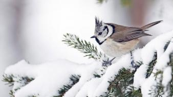 Snow birds animals tufted titmouse wallpaper