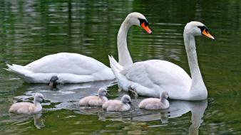 Water birds family animals swans baby wallpaper