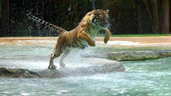 Water tigers wet jump powerful wallpaper