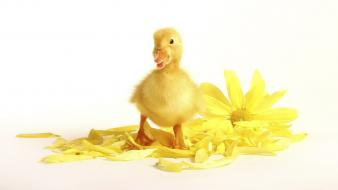 Yellow birds animals duckling baby wallpaper