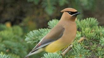 Nature birds cedar waxwing Wallpaper